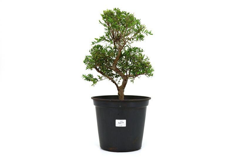 Pré-Bonsai Cambui  06 anos medida da planta (AxL) 36x24 CM