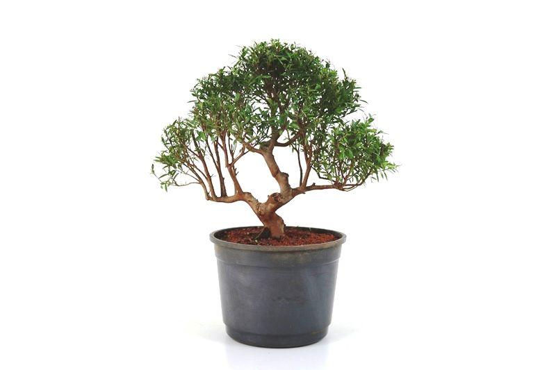 Pré-Bonsai Cambui  08 anos medida da planta (AxL) 24x28 CM