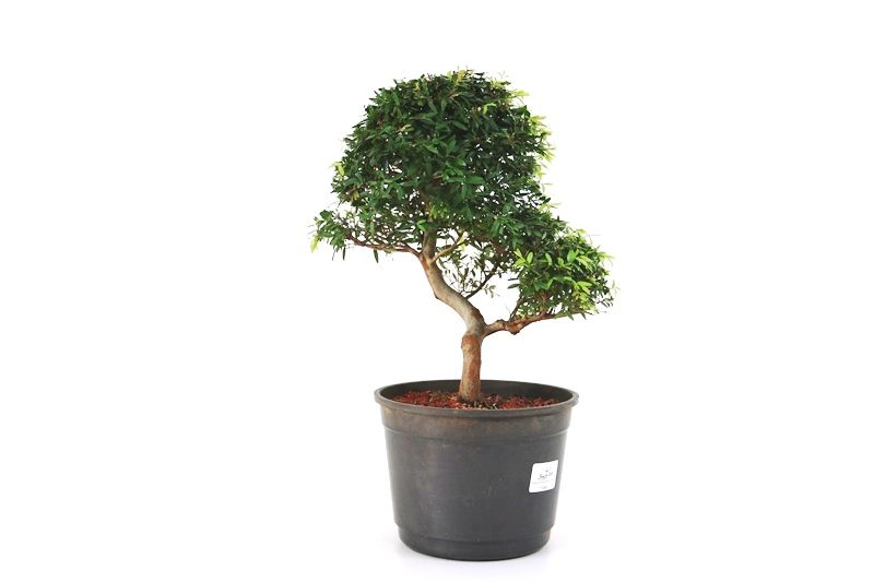 Pré-Bonsai Cambui  08 anos medida da planta (AxL) 28x26 CM