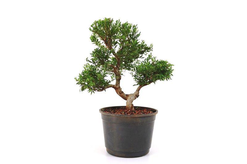 Pré-Bonsai Cambui  08 anos medida da planta (AxL) 28x30 CM