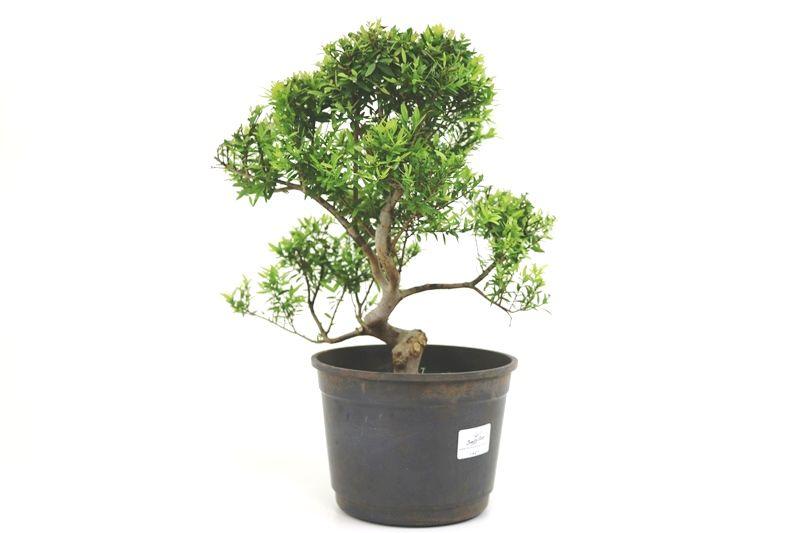 Pré-Bonsai Cambui  08 anos medida da planta (AxL) 29x30 CM