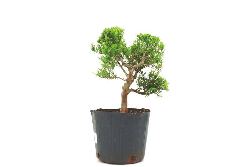 Pré-Bonsai Cambui  08 anos medida da planta (AxL) 29x33 CM