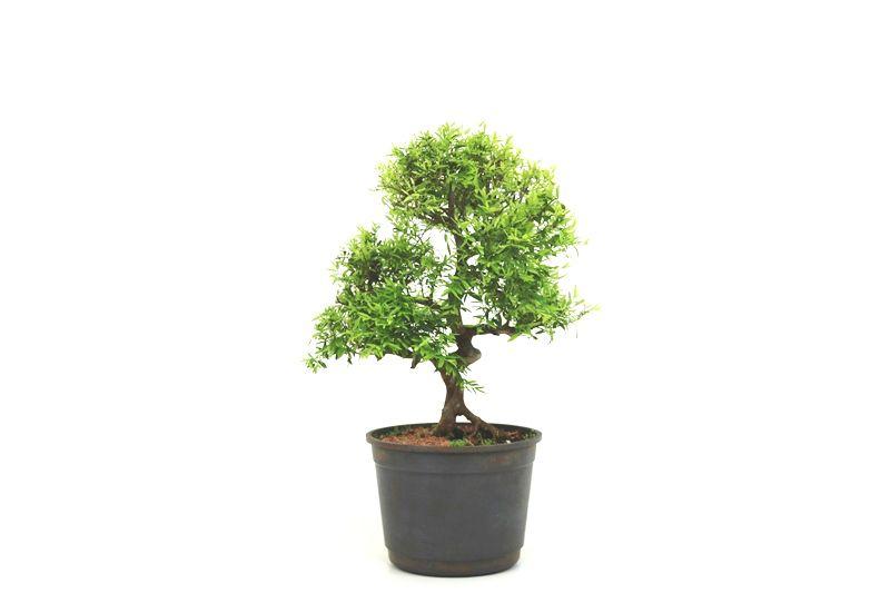 Pré-Bonsai Cambui  08 anos medida da planta (AxL) 31x27 CM