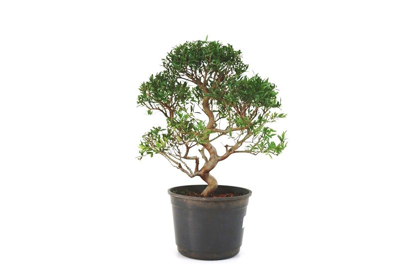 Pré-Bonsai Cambui  08 anos medida da planta (AxL) 31x31 CM