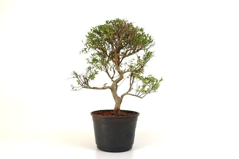 Pré-Bonsai Cambui  08 anos medida da planta (AxL) 32x31 CM