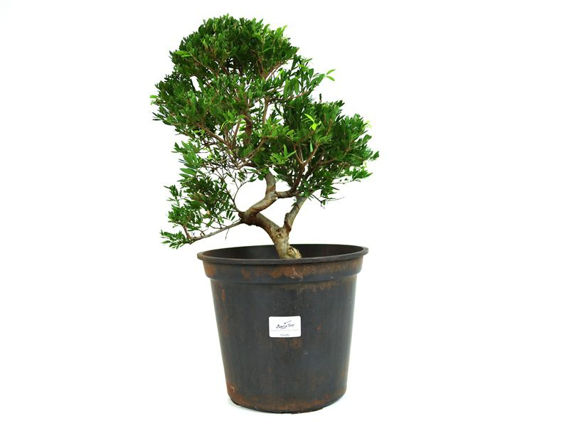 Pré-Bonsai Cambui  08 anos medida da planta (AxL) 34x28 CM