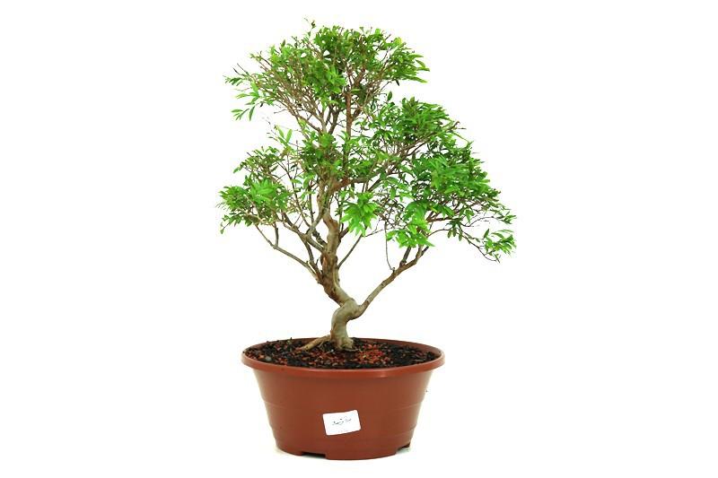 Pré-Bonsai Cambui  08 anos medida da planta (AxL) 35x30 CM