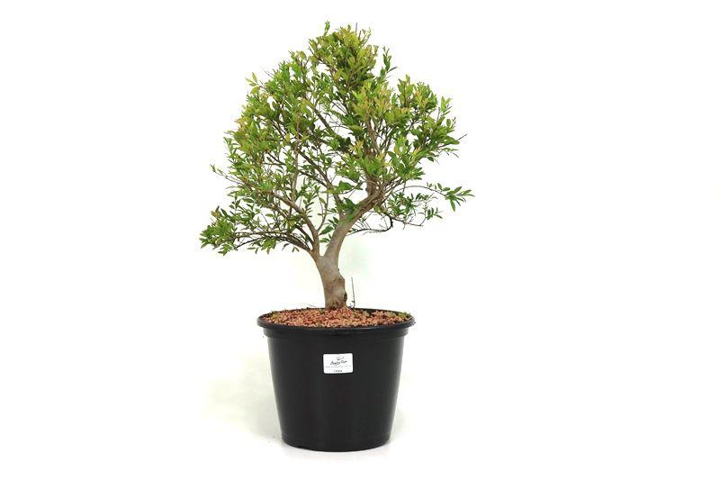 Pré-Bonsai Cambui  08 anos medida da planta (AxL) 37x17 CM