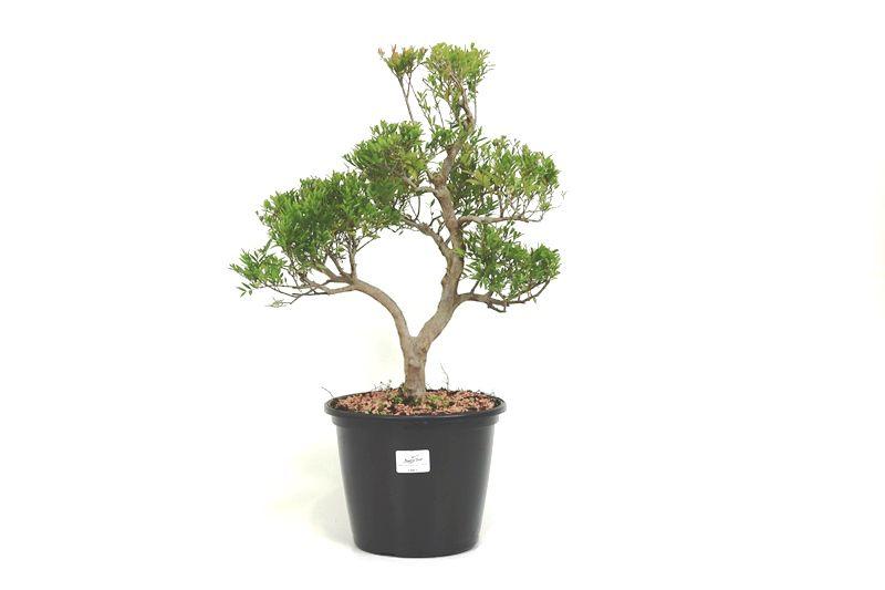 Pré-Bonsai Cambui  08 anos medida da planta (AxL) 40x28 CM