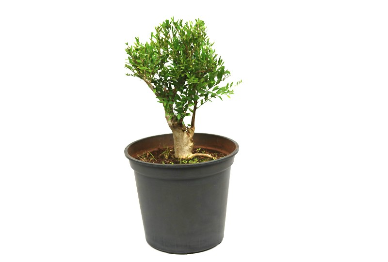 Pré-Bonsai Cambui  10 anos medida da planta (AxL) 25x21 CM