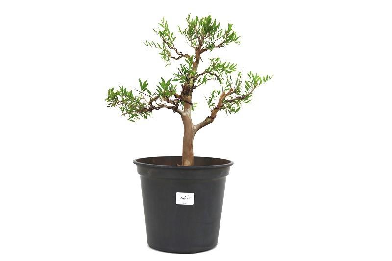 Pré-Bonsai Cambui 12 anos medida da planta (AxL) 34x32 CM