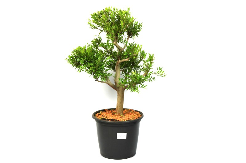 Pré-Bonsai Cambui  12 anos medida da planta (AxL) 40x31 CM