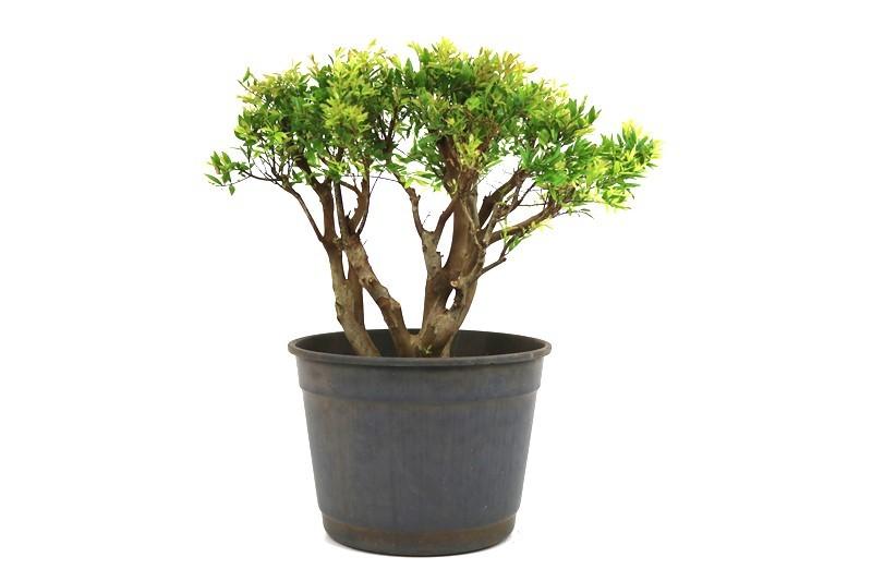 Pré-Bonsai Cambui 14 anos medida da planta (AxL) 30x38 CM