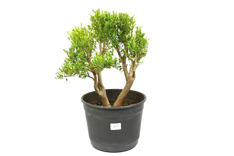 Pré-Bonsai Cambui 14 anos medida da planta (AxL) 35x34 CM