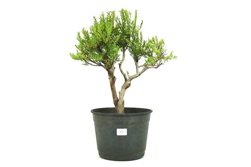 Pré-Bonsai Cambui  14 anos medida da planta (AxL) 42x37 CM