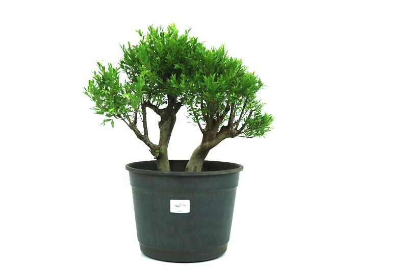 Pré-Bonsai Cambui 16 anos medida da planta (AxL) 29x34 CM