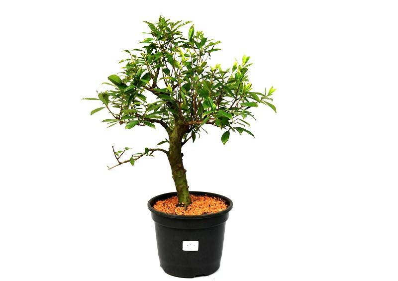 Pré-Bonsai Cereja do Rio Grande 12 anos - Medida da Planta  (XL) 40x37 cm