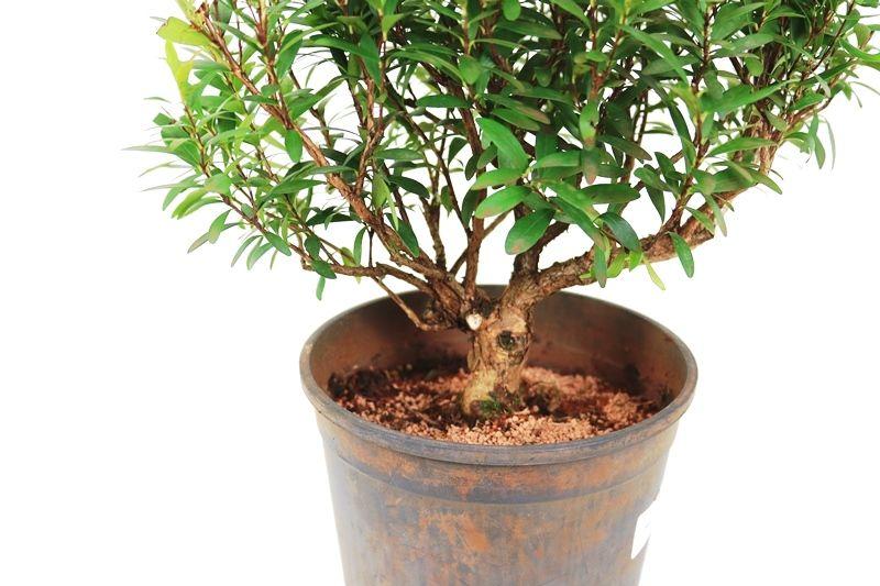 Pré-Bonsai Cereja Silvestre 06 anos - Medida da Planta  (XL) 25x29 cm