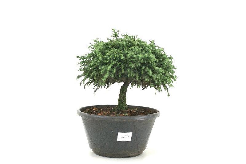 Pré-Bonsai Criptoméria aproximadamente 08 anos - medida da planta (AxL) 21x23 cm