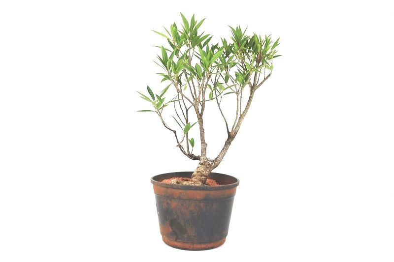 Pré-Bonsai Ficus Nerifolia 06 anos medida da planta (AxL) 30x20 cm