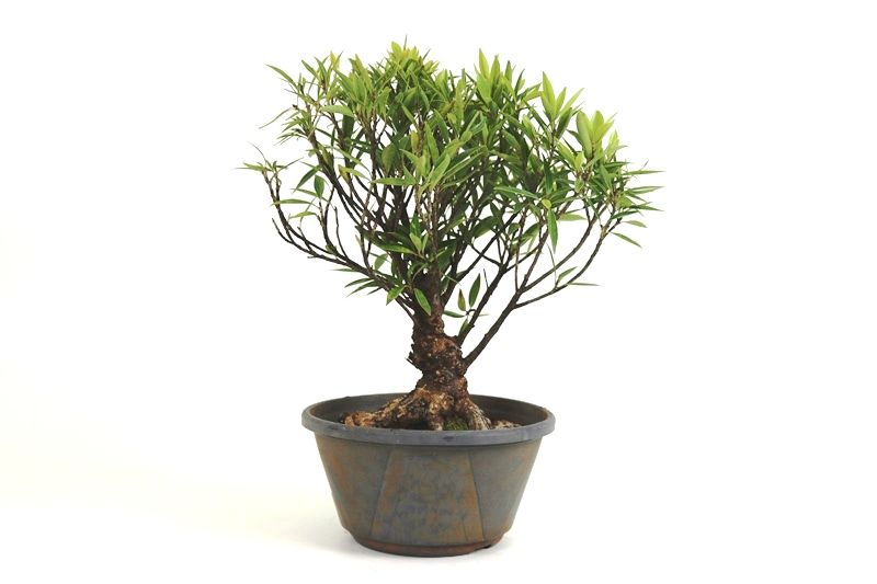 Pré-Bonsai Ficus Nerifolia 06 anos medida da planta (AxL) 34x30 cm