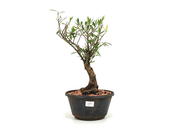 Pré-Bonsai Ficus Nerifolia 06 anos medida da planta (AxL) 35x21 cm