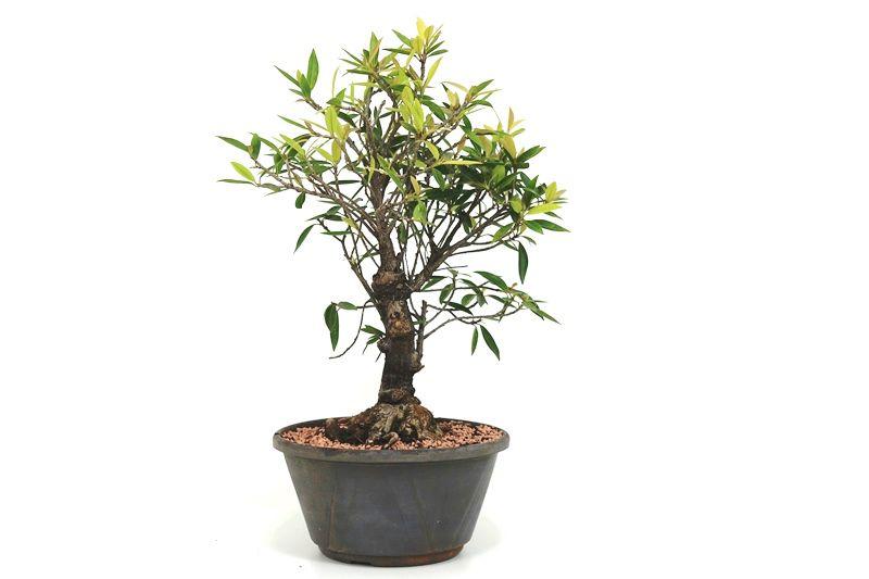 Pré-Bonsai Ficus Nerifolia 06 anos medida da planta (AxL) 37x22 cm