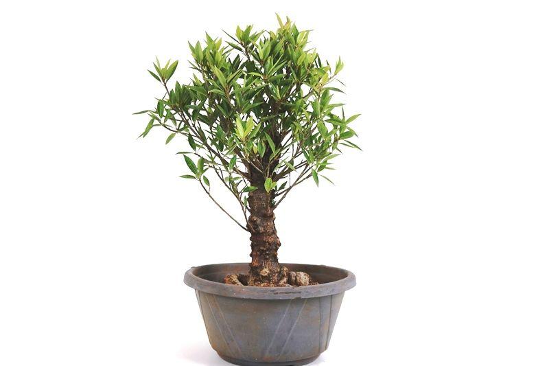 Pré-Bonsai Ficus Nerifolia 06 anos medida da planta (AxL) 38x30 cm