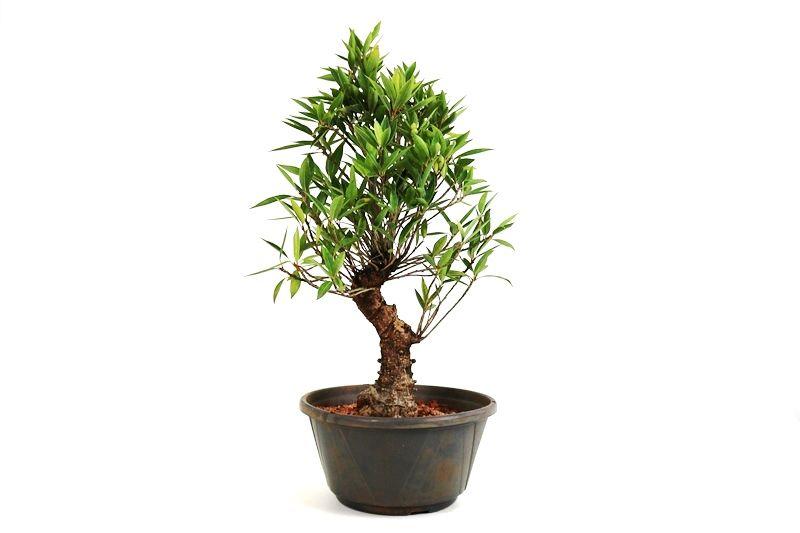 Pré-Bonsai Ficus Nerifolia 06 anos medida da planta (AxL) 43x30 cm