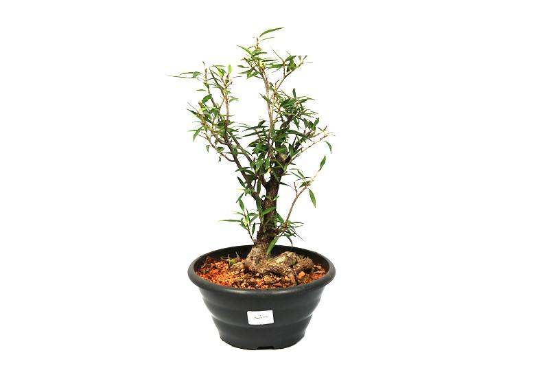 Pré-Bonsai Ficus Nerifolia 08 anos medida da planta (AxL) 30x18 cm