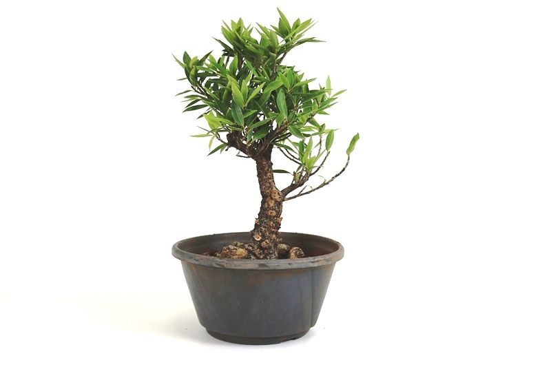 Pré-Bonsai Ficus Nerifolia 08 anos medida da planta (AxL) 30x21 cm