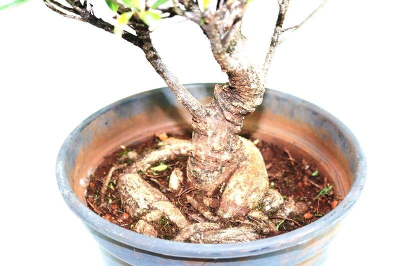 Pré-Bonsai Ficus Nerifolia 08 anos medida da planta (AxL) 30x30 cm