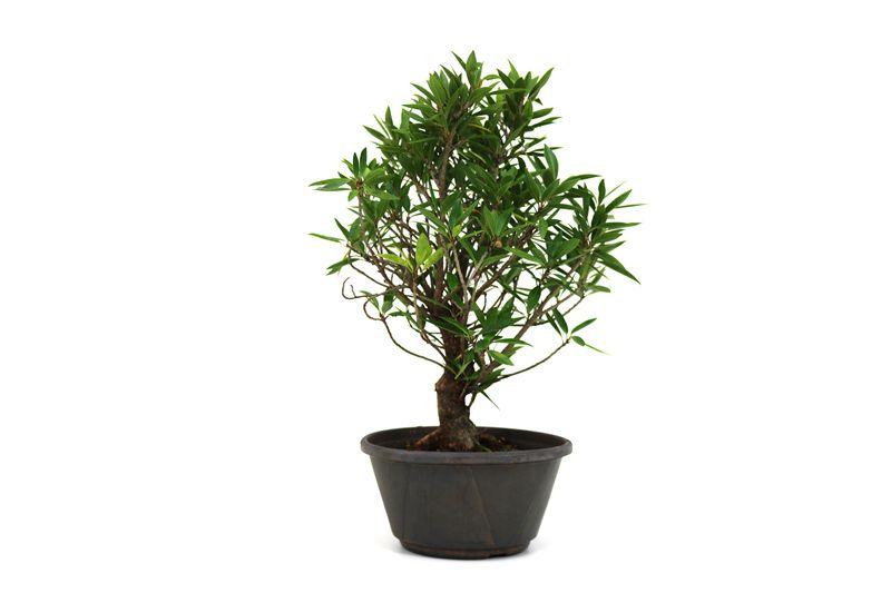 Pré-Bonsai Ficus Nerifolia 08 anos medida da planta (AxL) 40x28 cm