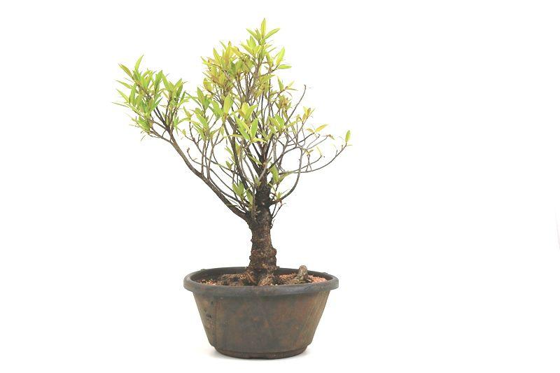 Pré-Bonsai Ficus Nerifolia 08 anos medida da planta (AxL) 42x37 cm