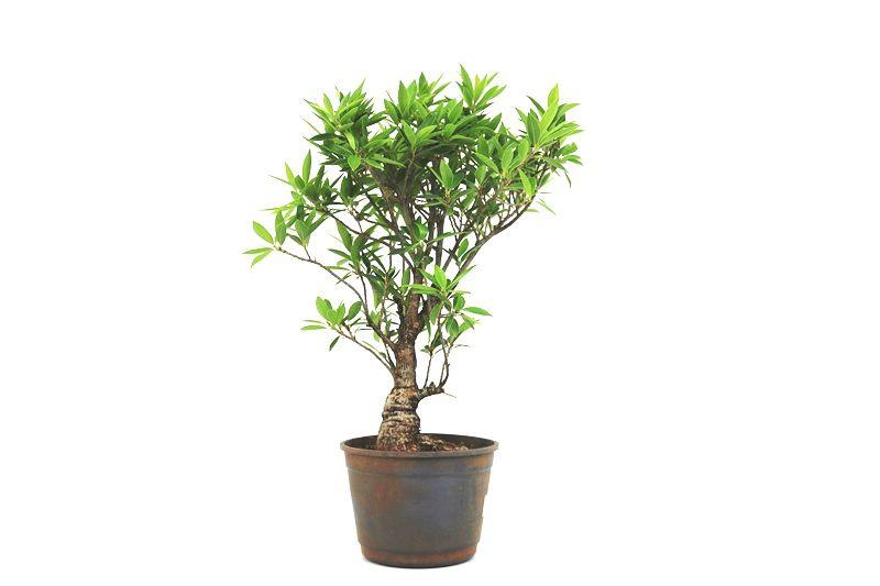 Pré-Bonsai Ficus Nerifolia 08 anos medida da planta (AxL) 43x32 cm