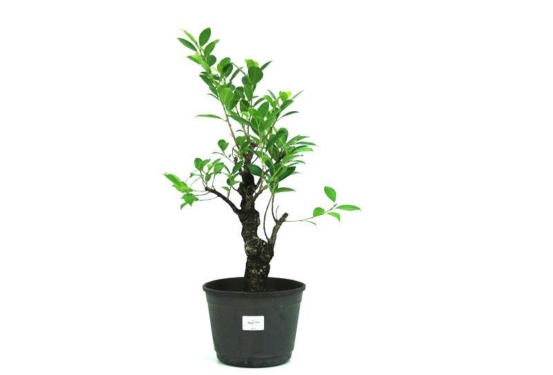Pré-Bonsai Ficus Nerifolia 08 anos medida da planta (AxL) 46x31 cm