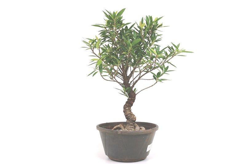 Pré-Bonsai Ficus Nerifolia 10 anos medida da planta (AxL) 37x35 cm