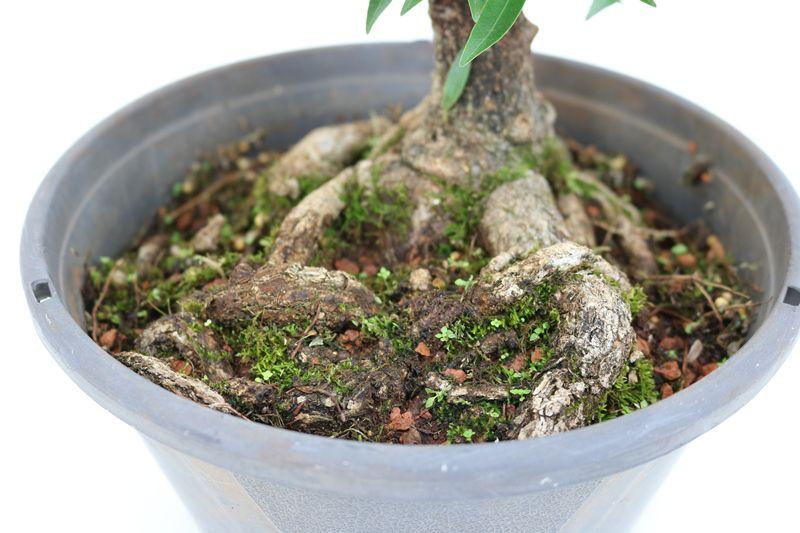 Pré-Bonsai Ficus Nerifolia 10 anos medida da planta (AxL) 41x27 cm