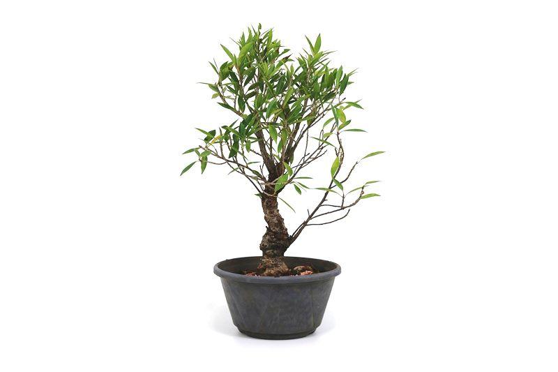 Pré-Bonsai Ficus Nerifolia 10 anos medida da planta (AxL)43x26 cm