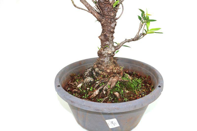 Pré-Bonsai Ficus Nerifolia 14 anos medida da planta (AxL) 43x38 cm