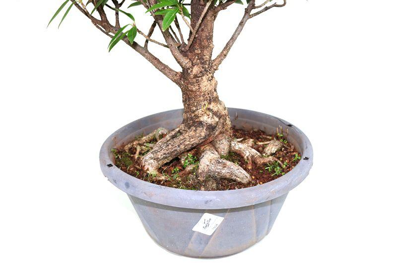 Pré-Bonsai Ficus Nerifolia 15 anos medida da planta (AxL) 41x37 cm