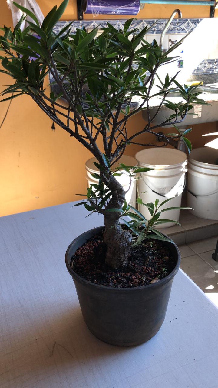 Pré-Bonsai Ficus Nerifolia