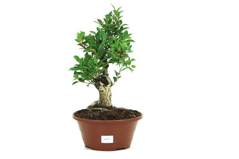 Pré-Bonsai Ficus Retusa 10 anos medida da planta (AxL) 31x19 cm