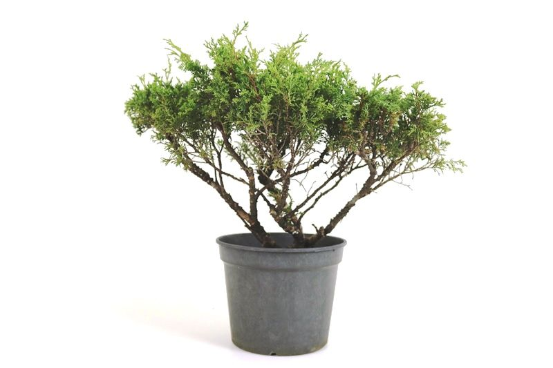Pré-Bonsai Itoigawa 08 anos medida da planta (AxL) 30x45 cm