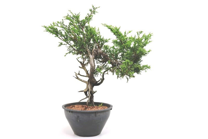 Pré-Bonsai Itoigawa 10 anos medida da planta (AxL) 32x33 cm