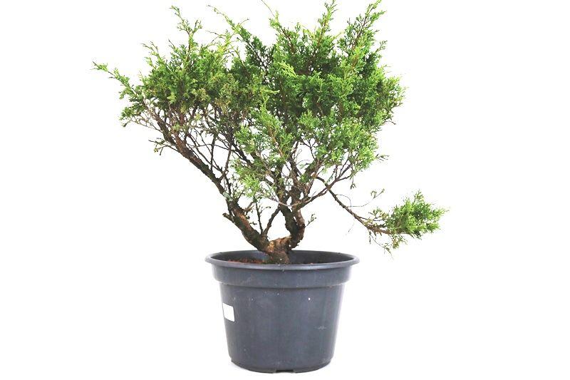Pré-Bonsai Itoigawa 12 anos medida da planta (AxL) 37x40 cm