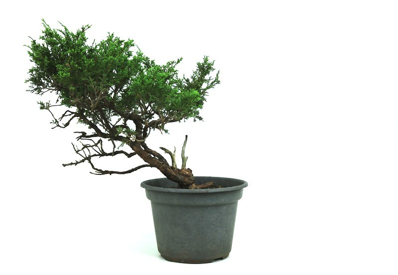 Pré-Bonsai Itoigawa 14 anos medida da planta (AxL) 18x26 cm