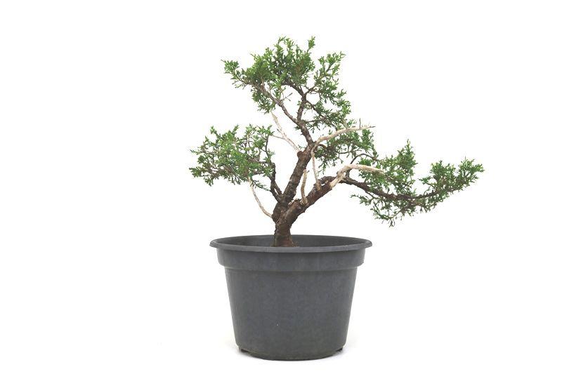 Pré-Bonsai Itoigawa 14 anos medida da planta (AxL) 37x45 cm