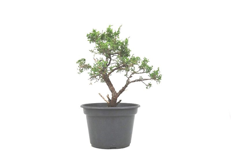 Pré-Bonsai Itoigawa 14 anos medida da planta (AxL) 39x39 cm