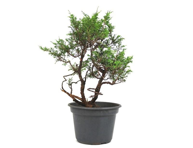Pré-Bonsai Itoigawa 14 anos medida da planta (AxL) 46x42 cm